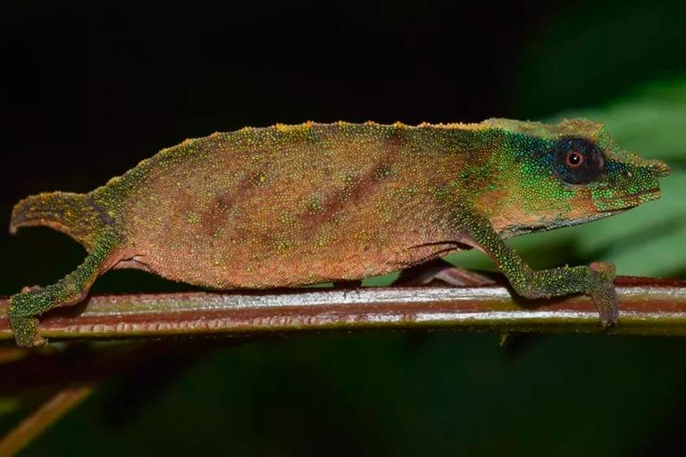 El extraño camaleón que creían extinto y apareció en África