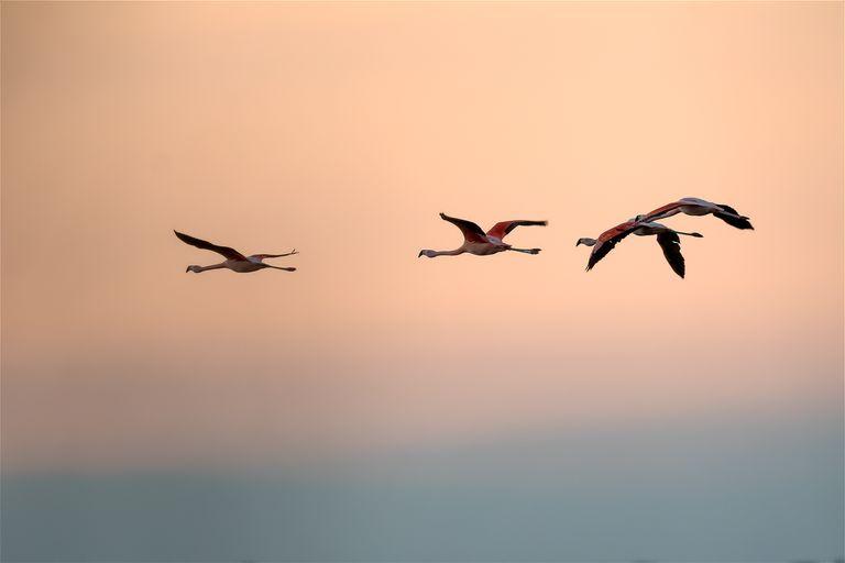 En la laguna de Mar Chiquita habitan la mitad de las especies de flamencos que existen a nivel mundial.