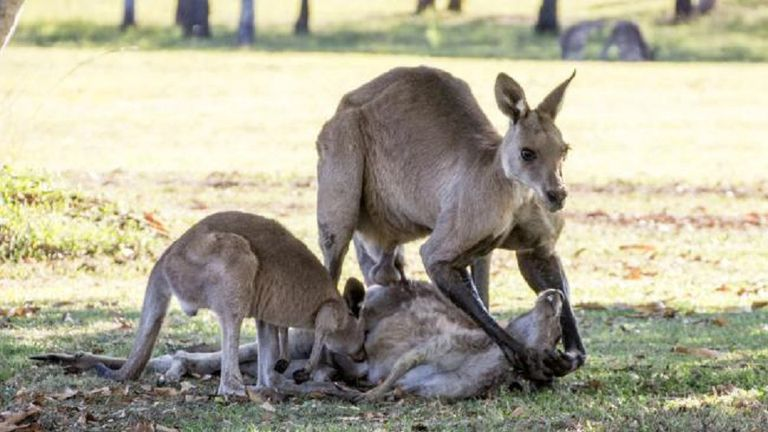El canguro y su cría intentaban reanimar a la hembra