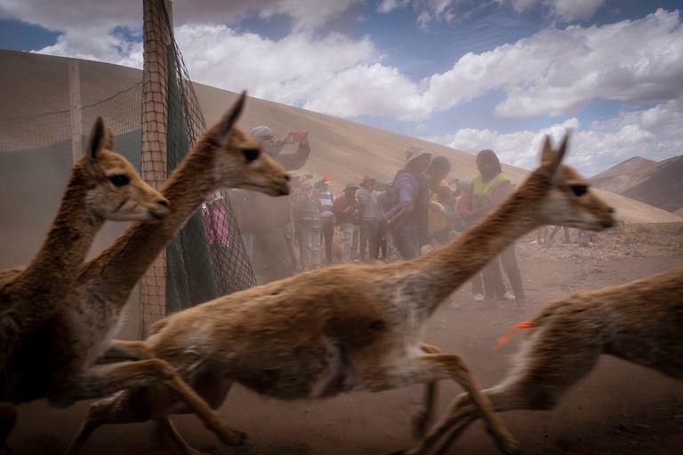 La puna jujeña también tiene su chaku, técnica ancestral de esquila de vicuñas
