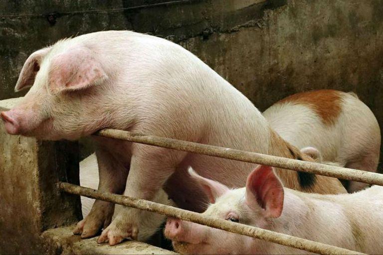 La baja de precios de la carne de cerdo en China (60% desde los máximos de enero pasado) hace dudar sobre si la demanda de harina de soja se va a seguir manteniendo como venía