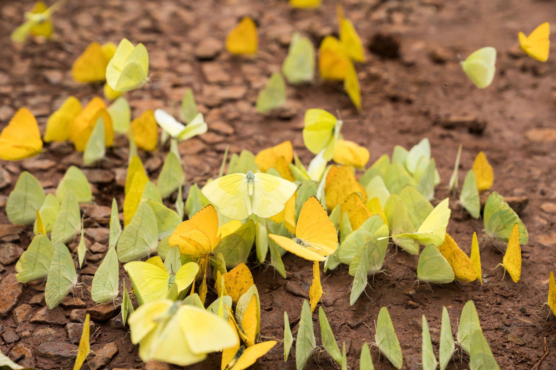 Mariposas limonadas sobre tierra colorada.