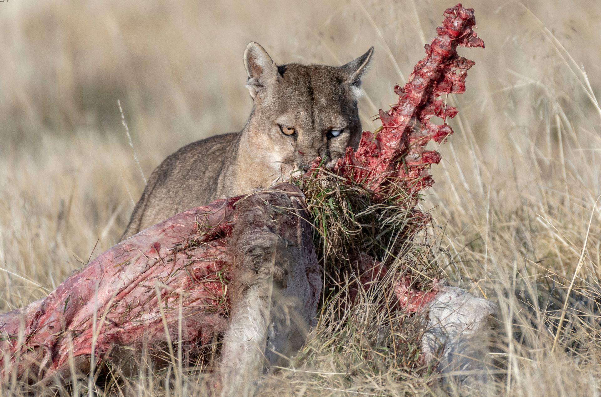 Puma alimentándose.