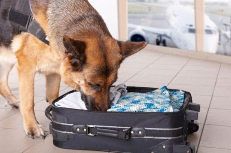 Entrenar a los perros para detectar explosivos es una tarea que requiere tiempo y dinero