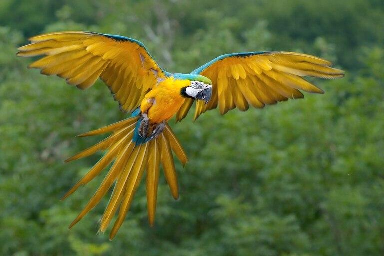El guacamayo azul y amarillo mide entre 76 y 86 centímetros de largo y pesa entre 900 y 1500 gramos. Su plumaje es de color azul en la parte superior, amarillo en el pecho y el vientre, blanco en la cara y verde en la frente