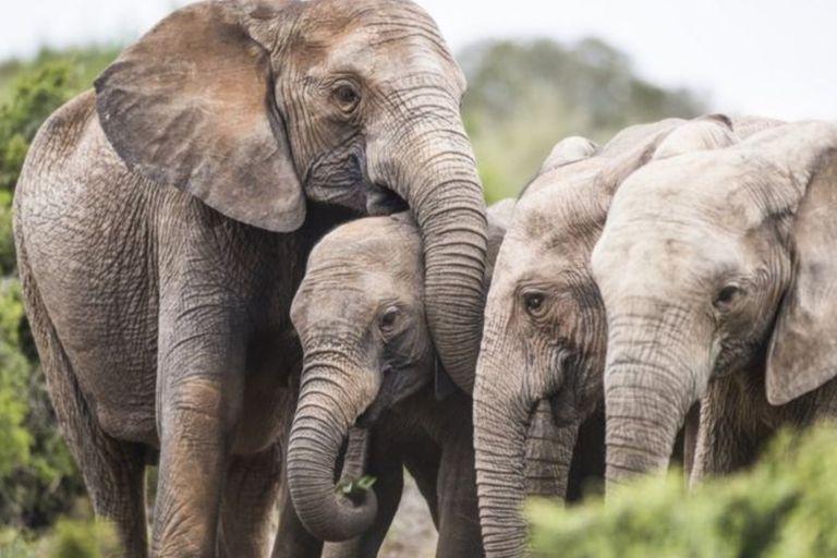 Los elefantes que nacen sin colmillos para poder sobrevivir