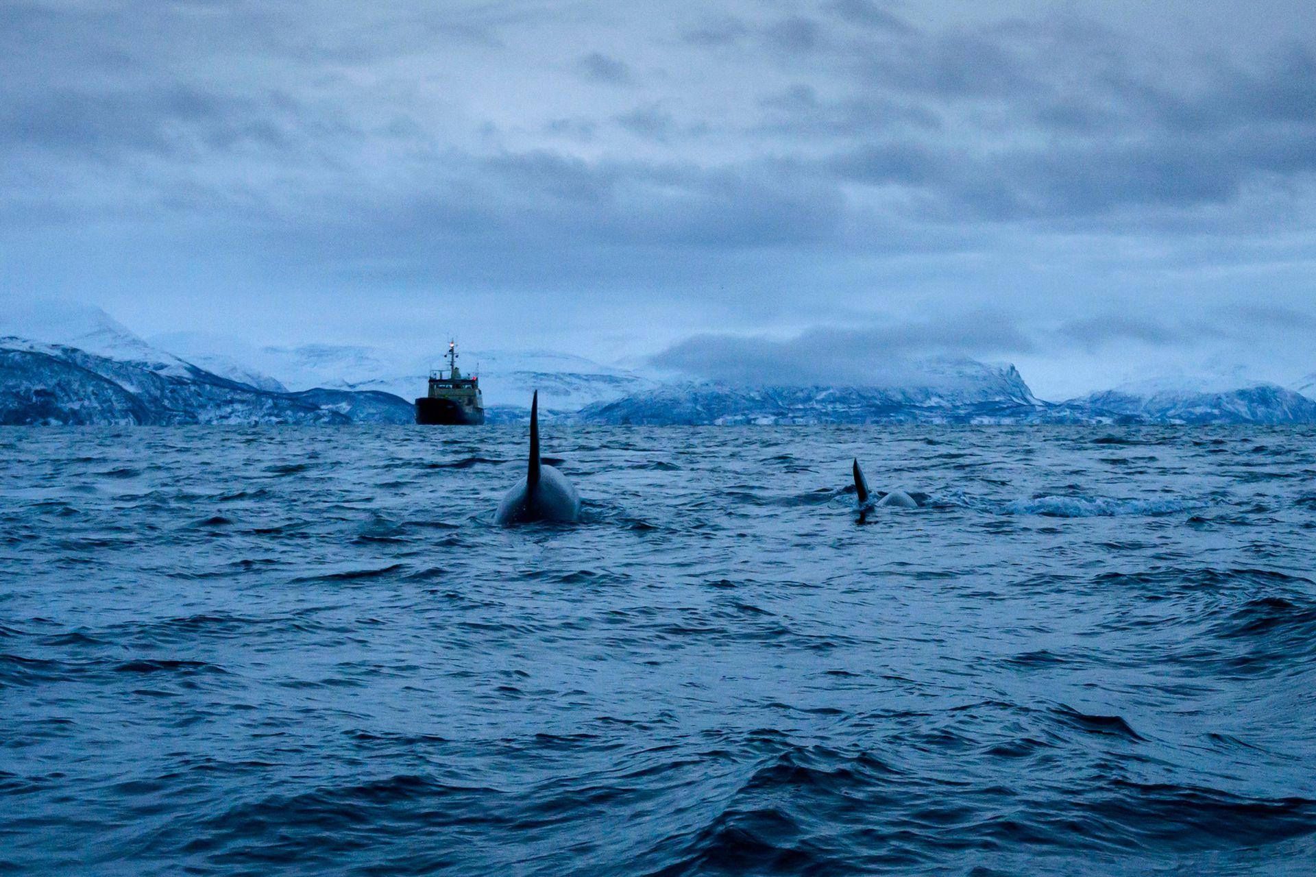 Orcas masculinas persiguen arenques el 15 de enero