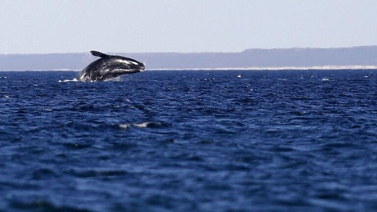 Esta temporada se contabilizaron cerca de 800 ballenas en la costa de Chubut
