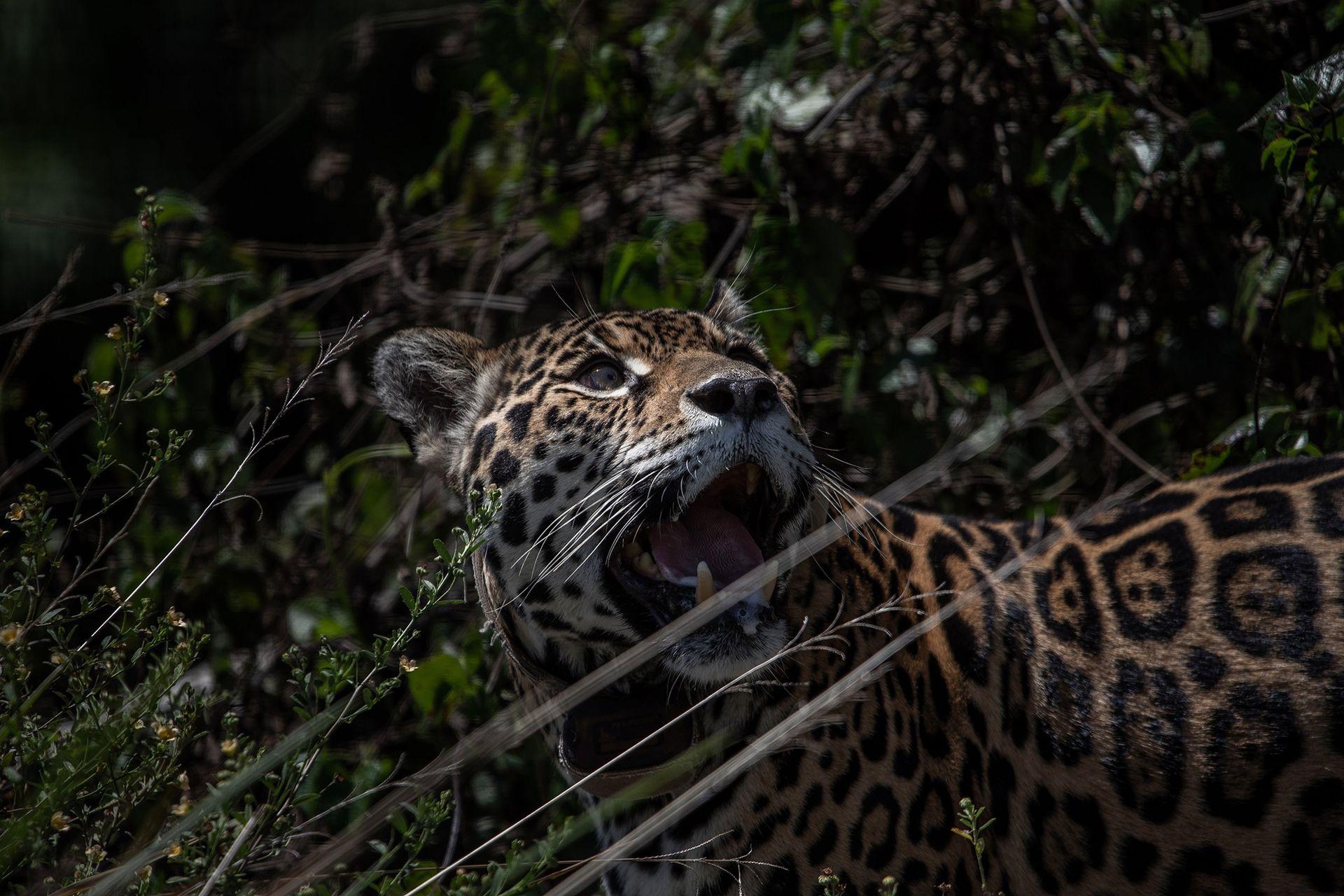 Un jaguar llamado Isis en un corral de prelanzamiento, en el Parque Nacional Iberá