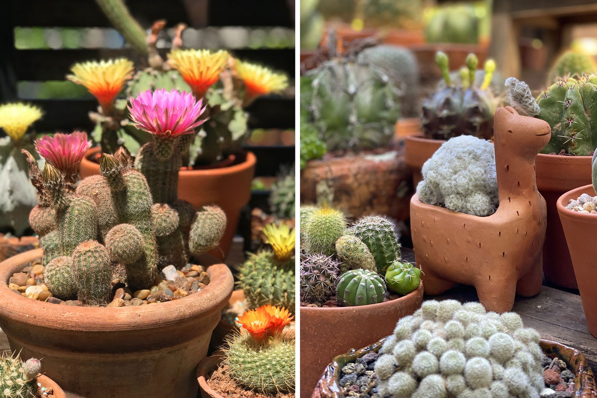 La colección de Teresa reúne unas 500 plantas. Desde hace 11 años no para de crecer.