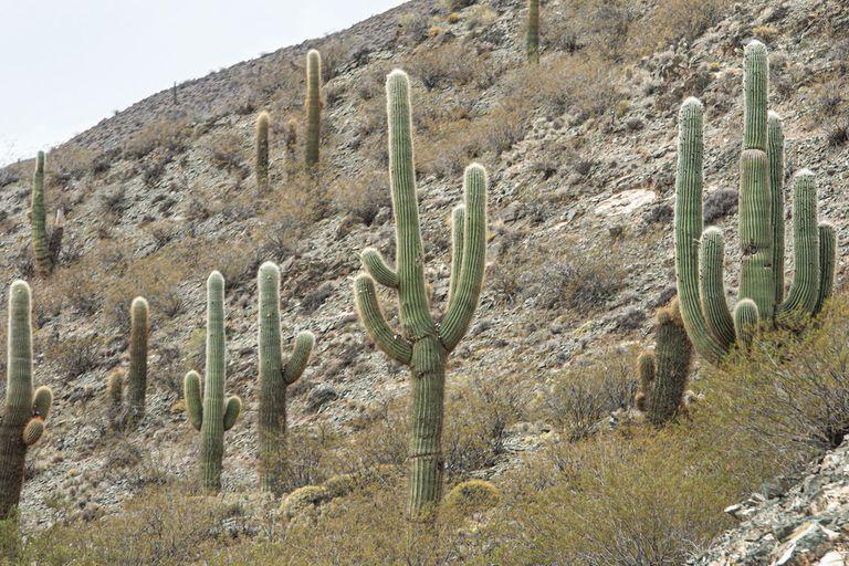 Diminutos o gigantes: los cactus más grandes y más pequeños de la Argentina