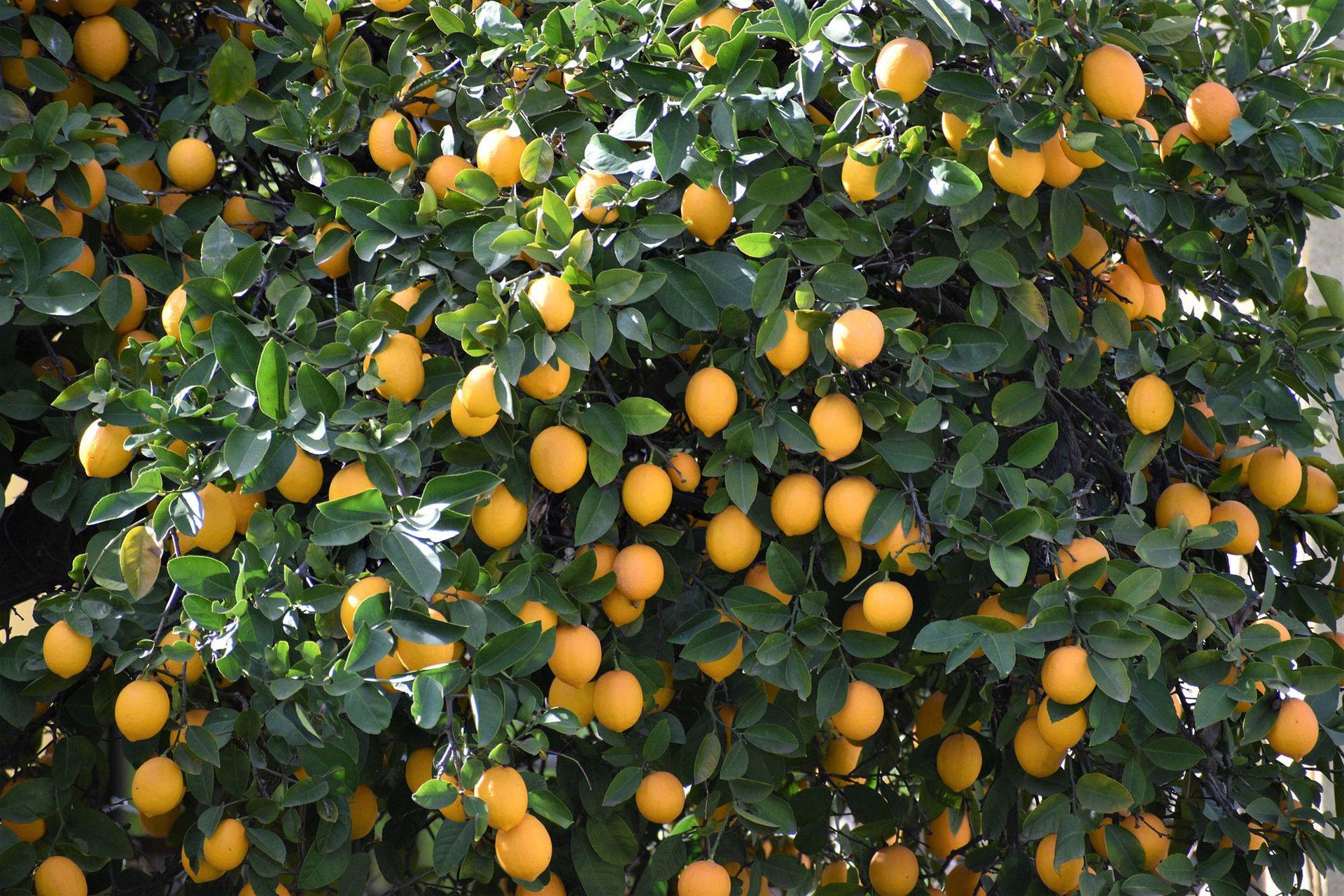 Resistente: el árbol de limón prospera en casi todas las huertas siempre que las heladas no dañen sus flores .