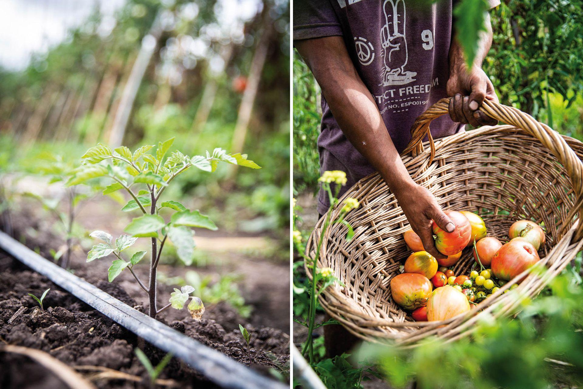 """Los tomates pierden su aroma cuando se refrigeran, por lo que es mejor almacenarlos a temperatura ambiente y protegidos de la luz. A los de variedades """"en rama"""" es preferible no arrancarles el tallito hasta el momento de utilizarlos, porque así conservan mejor su fragancia."""
