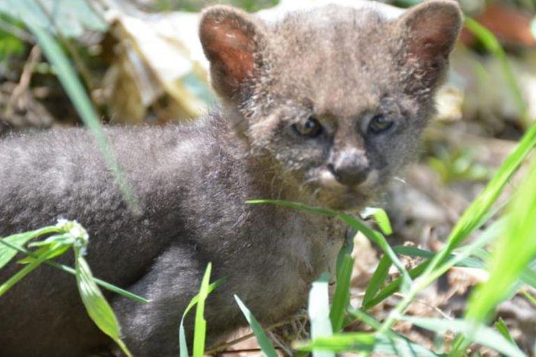 Elber Guzmán pensó que se trataba de un gato abandonado en la calle y lo rescató, hasta que notó algunos comportamientos extraños