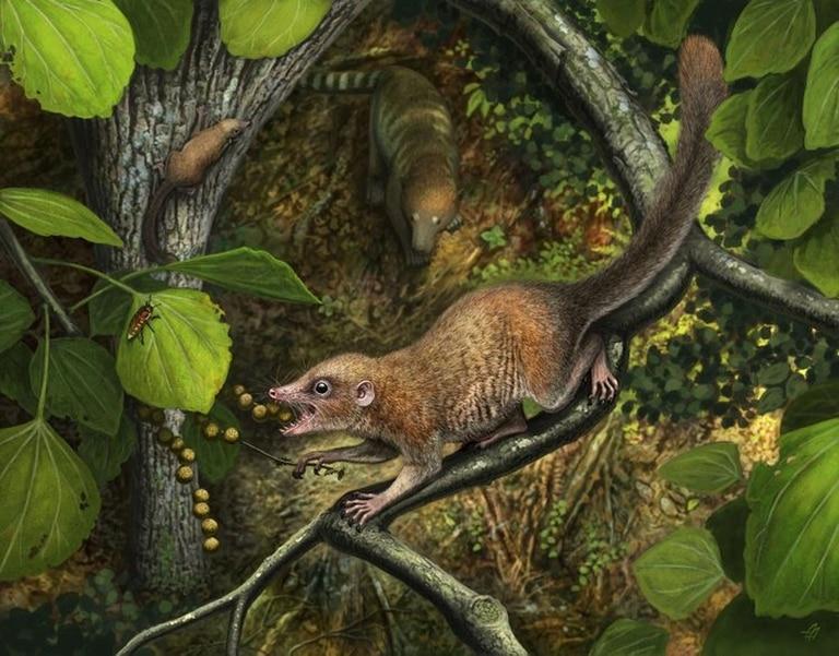 Poco después de la extinción de los dinosaurios, los primeros primates arcaicos conocidos como la nueva especie Purgatorius mckeeveri, que se muestra en primer plano, se diferenciaron rápidamente de su competencia