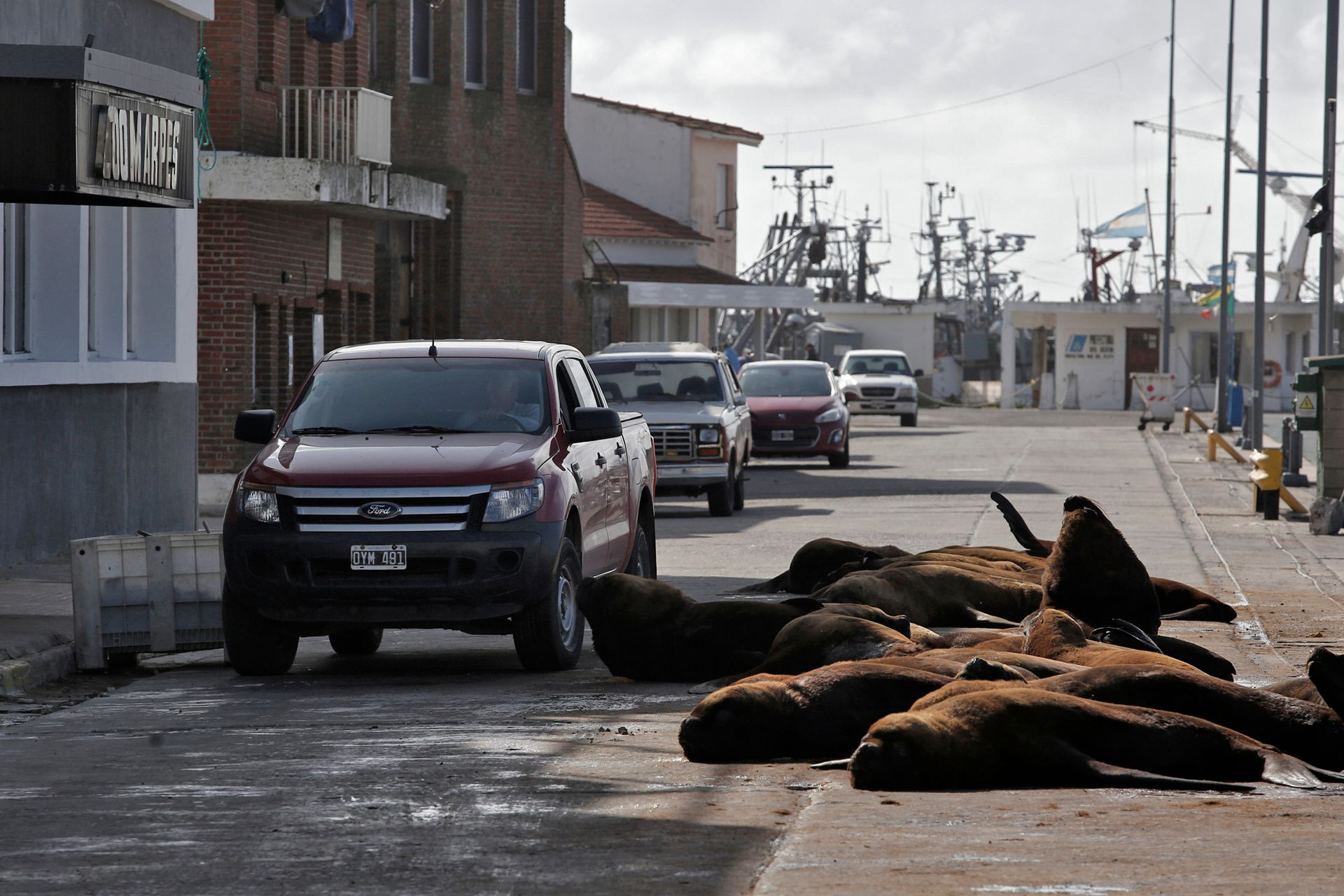 Más territoriales que nunca por el poco movimiento, los lobos marinos vuelven a copar el puerto de Mar del Plata