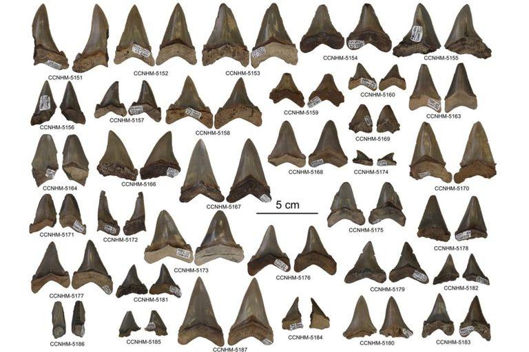 Las piezas dentarias fósiles halladas en Carolina del Sur fueron en total unas 87