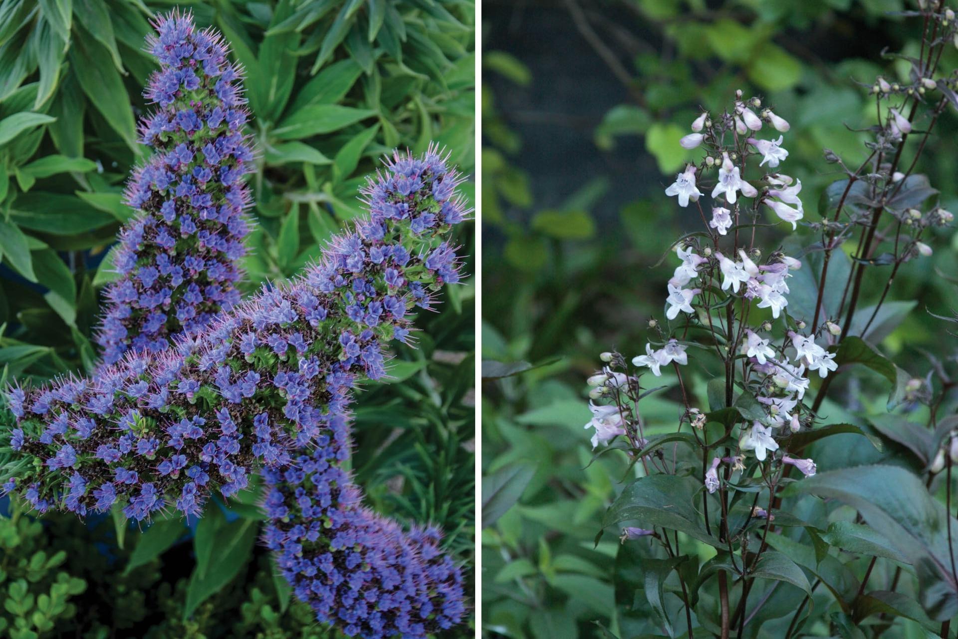 Izquierda: Echium candicans, una planta que alcanza los 1,80 metros y tiene una floración espectacular. Derecha: Penstemon digitalis 'Husker Red', con sus flores entre blancos y lilas.