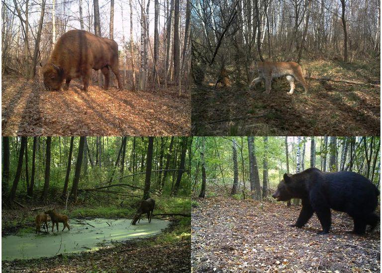 Bisonte europeo, lince boreal, alces y oso pardo dentro de la zona de exclusión de Chernobyl