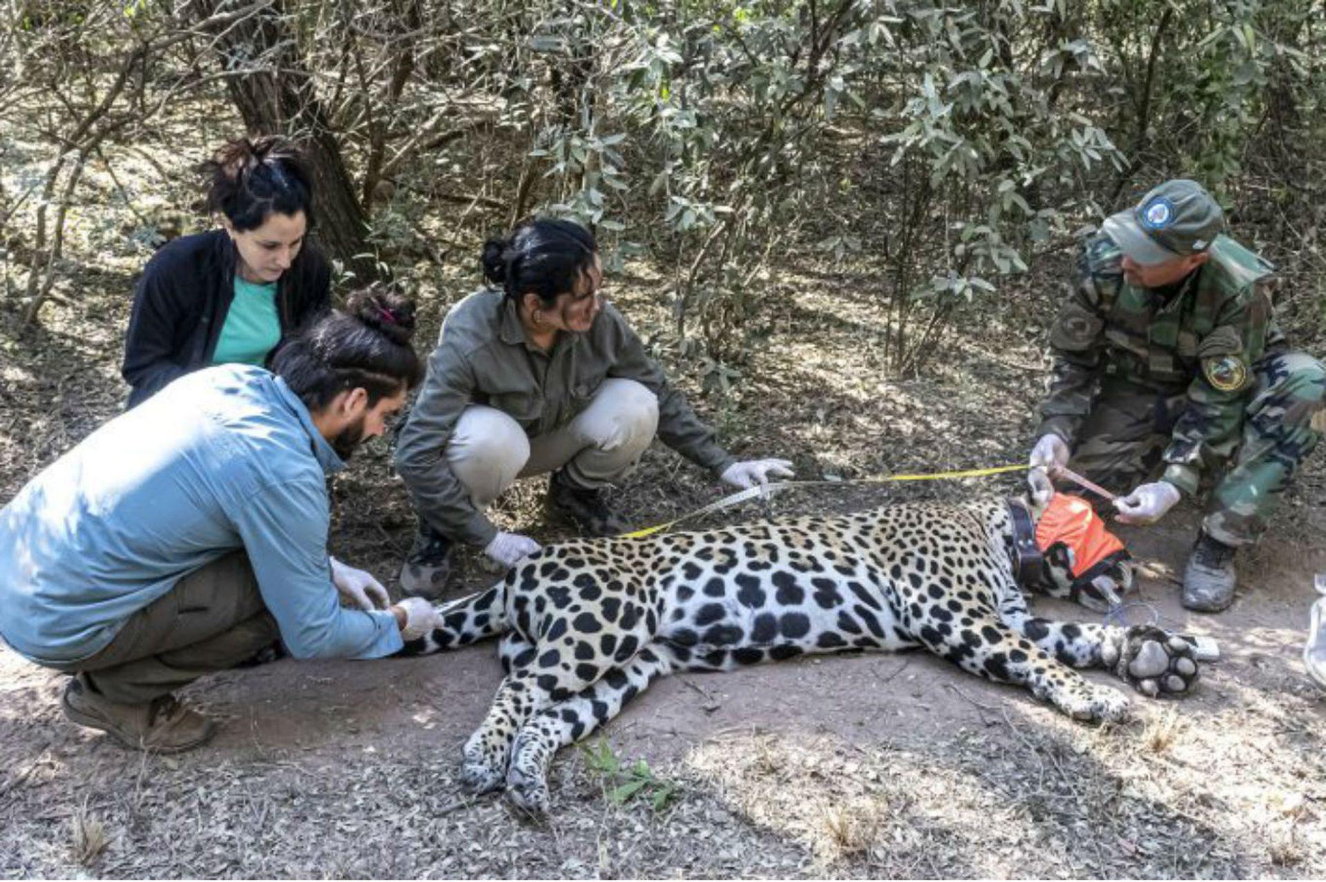 Veterinarios, biólogos expertos en yaguaretés y guardaparques atendieron y estudiaron al animal capturado