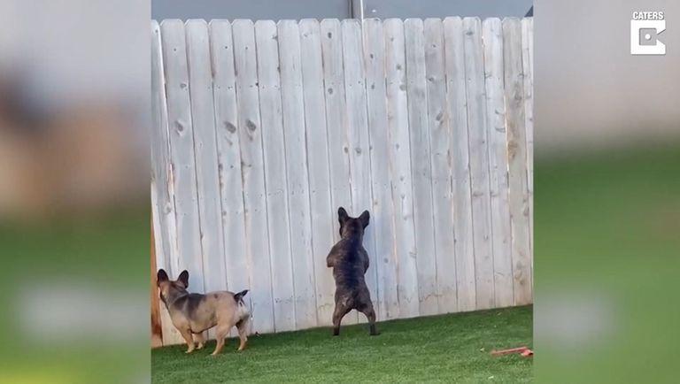 Espiar a sus vecinos es el pasatiempo favorito de estas mascotas