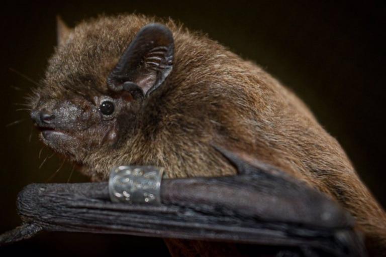 Un murciélago Nathusius capturado durante los experimentos