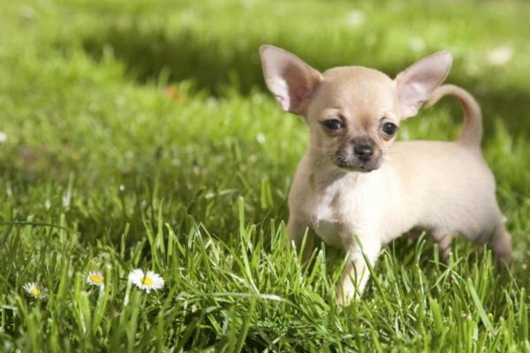 Son los perros más pequeños del mundo