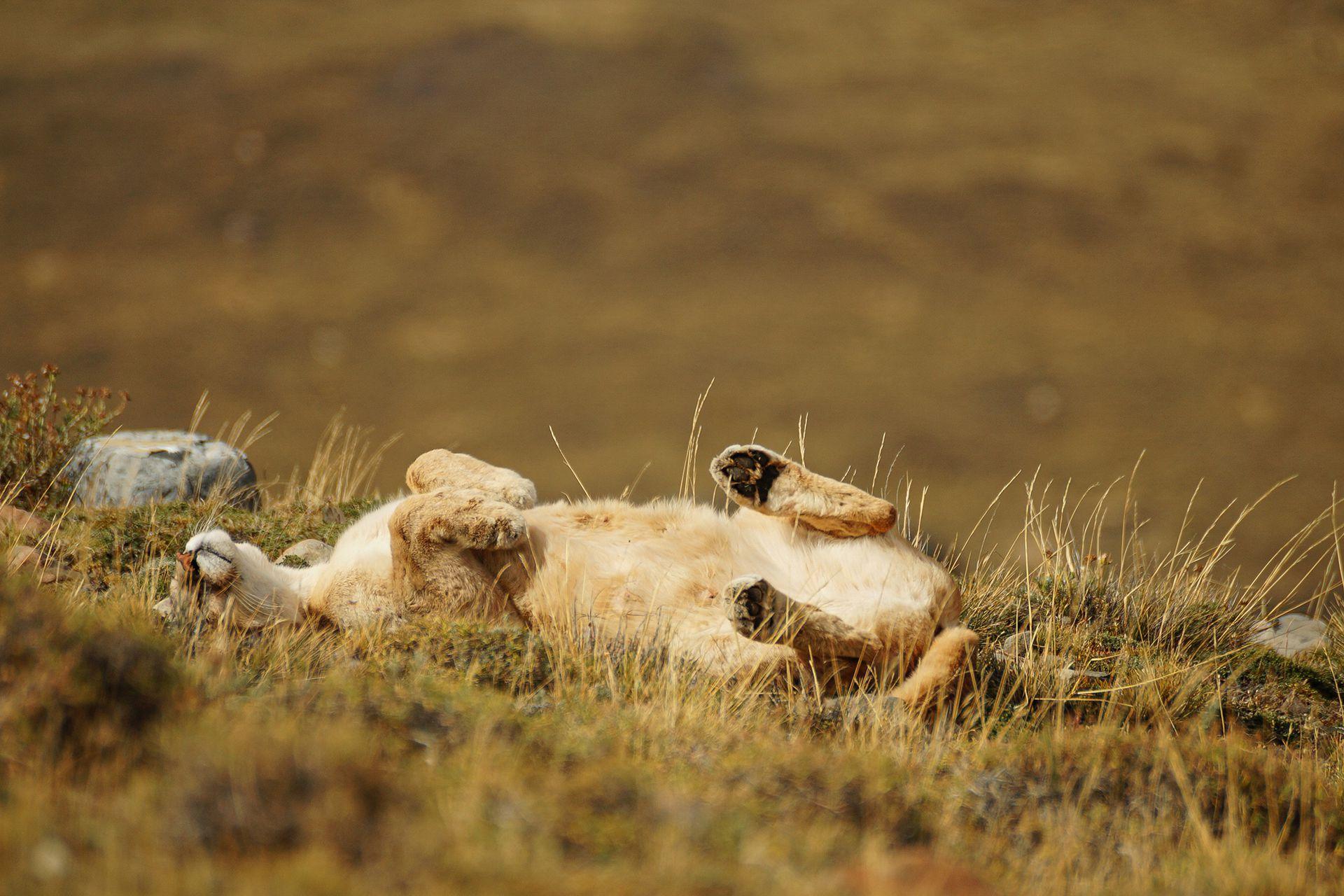 Ver un puma retozar al sol es difícil, pero posible, con paciencia y algo de suerte en PN Torres del Paine.