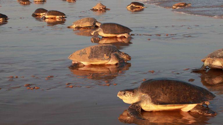 Las tortugas son pequeñas y están en peligro de extinción. Fuente: Oceana.