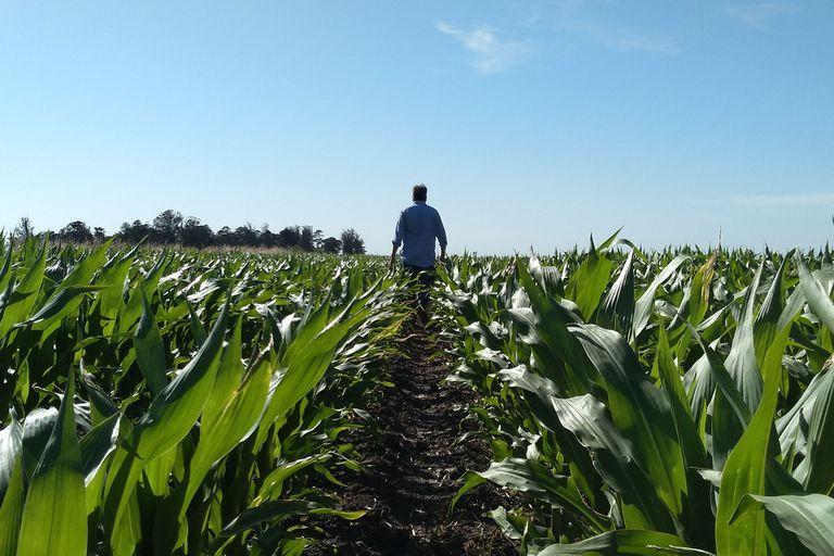 Cuáles son las claves para sembrar maíz tardío