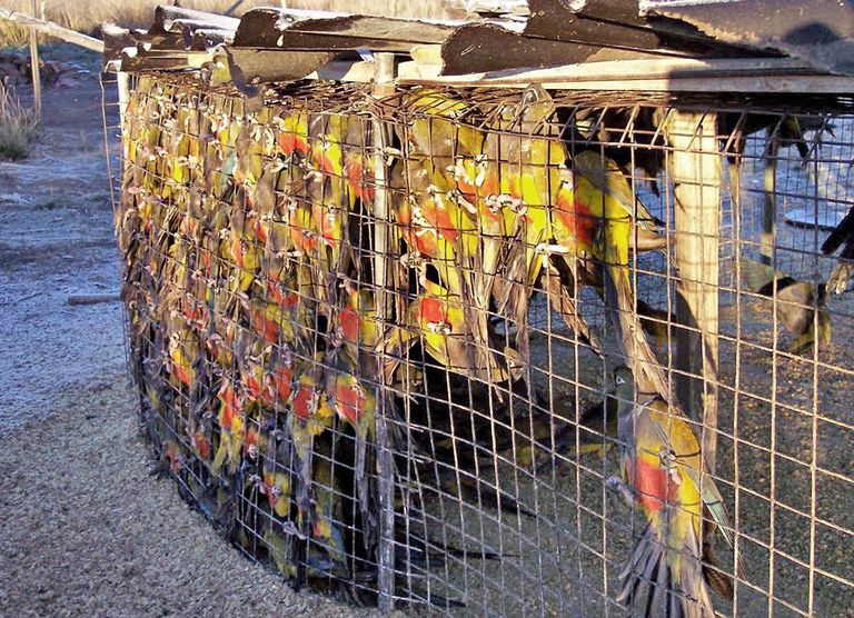 Decenas de loros barranqueros confinados para el comercio ilegal de mascotas