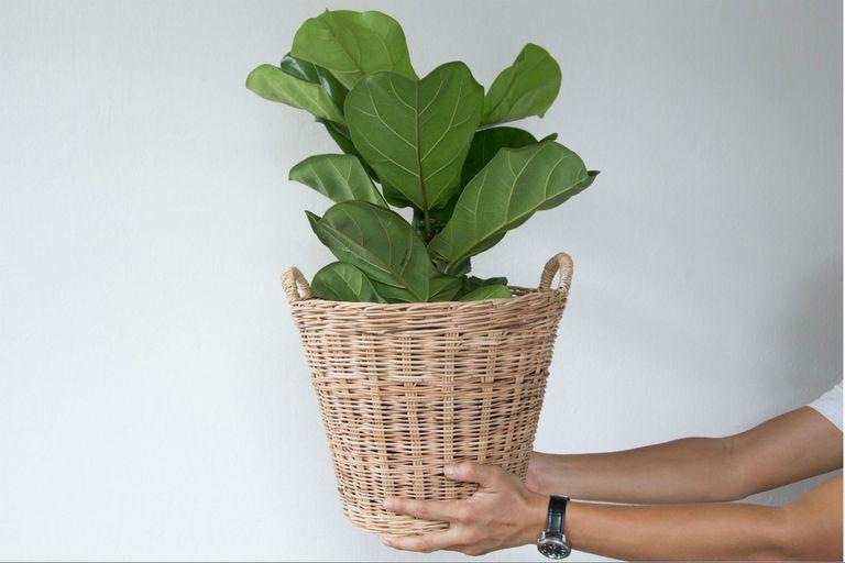 Ficus pandurata: cómo cuidar a una de las plantas más usadas en interiores