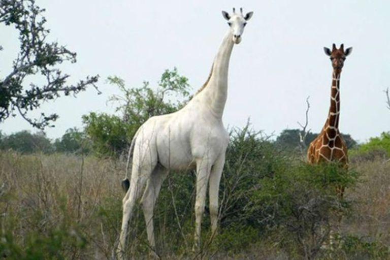 Las jirafas blancas fueron avistadas por primera vez en Kenia en marzo de 2016, aproximadamente dos meses después de un avistamiento en Tanzania