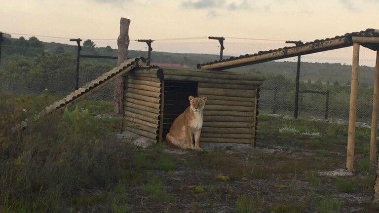 Baguira en su nuevo hogar en el Santuario Panthera en Sudáfrica