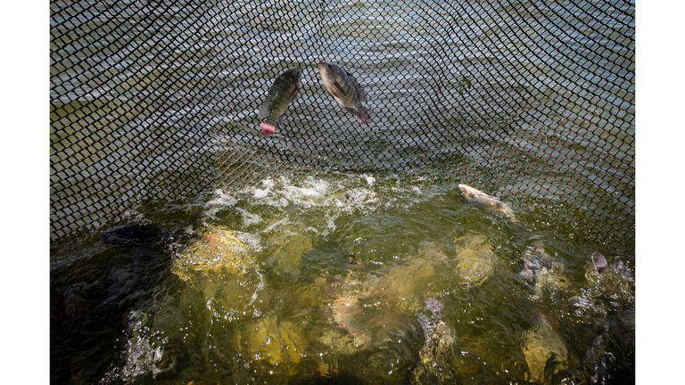Peces tapia nadan en los tanques en Castanhao