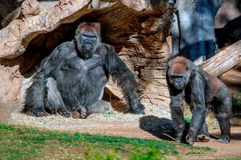 A mediados de enero, los mamíferos de un zoológico habían desarrollado síntomas de COVID-19 tras haber estado en contacto directo con un cuidador que se había enfermado.