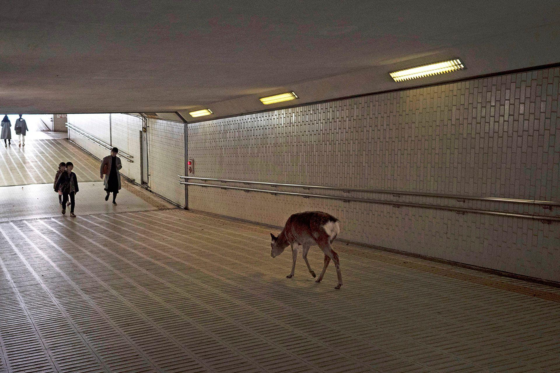 Por calles, templos, parques, tiendas de regalos y restaurantes se les puede observar caminando tranquilamente