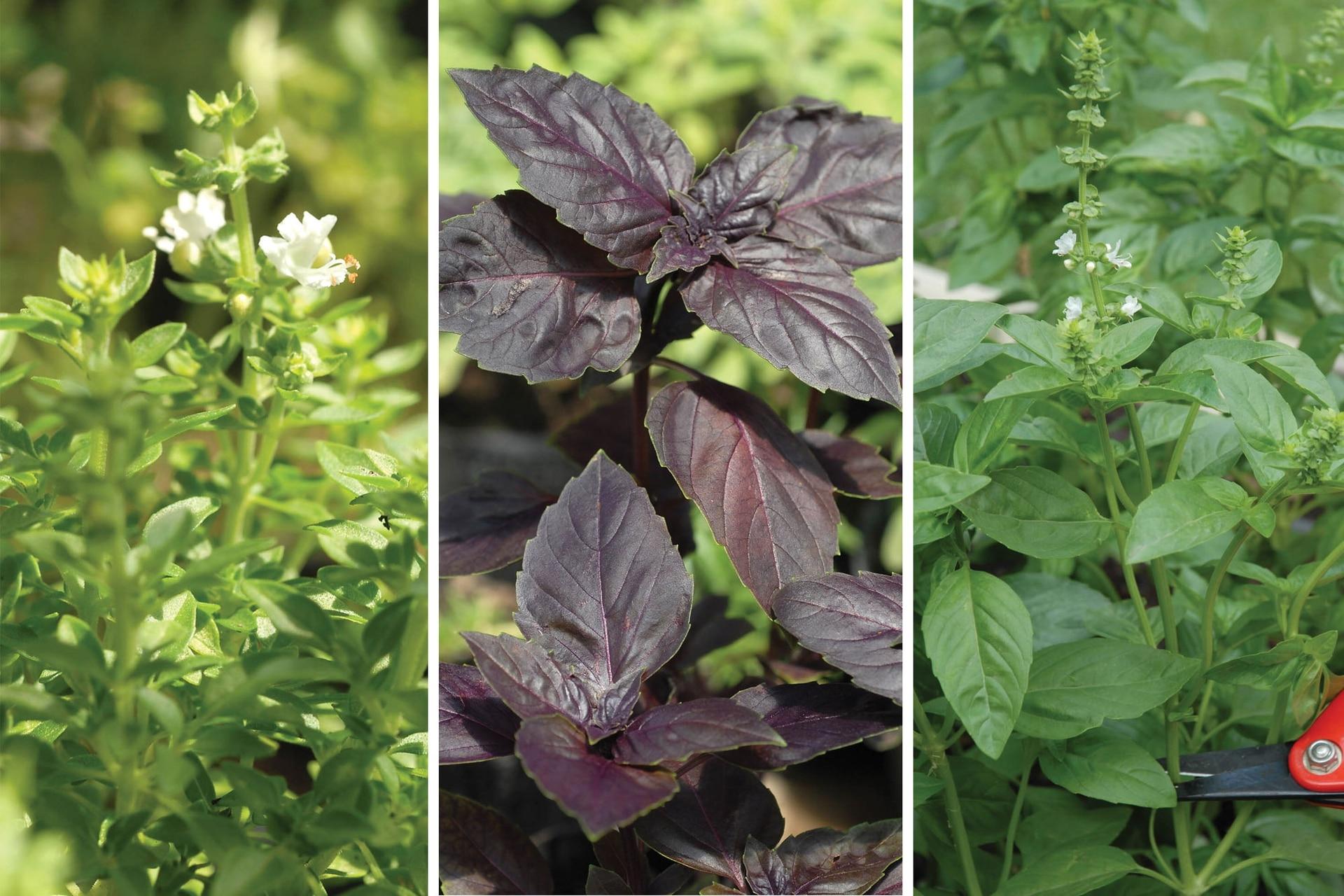 De izquierda a derecha, albahaca minette o griega, albahaca púrpura y albahaca limón, tres variedades de una misma y exquisita planta aromática.