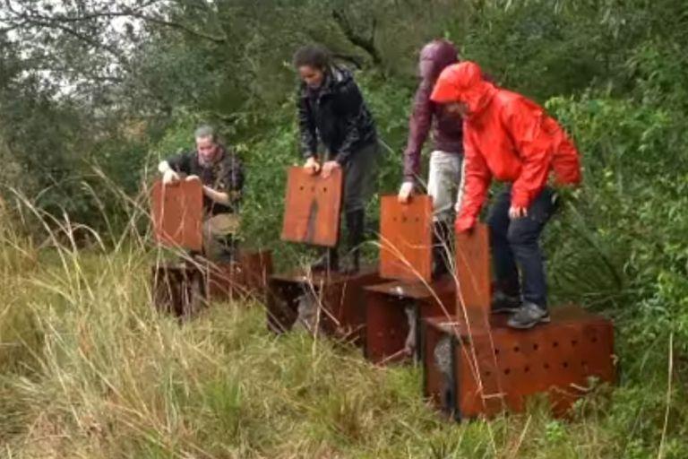 Cuatro ejemplares del animal fueron soltados en la reserva Yerbalito