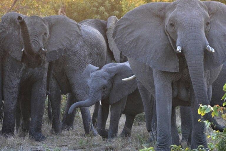 Sudáfrica: un cazador furtivo murió pisoteado por una manada de elefantes