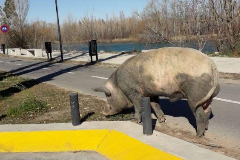 Los animales se adueñaron del Paseo de la Costa, ubicado en el sureste de la ciudad capital de Neuquén