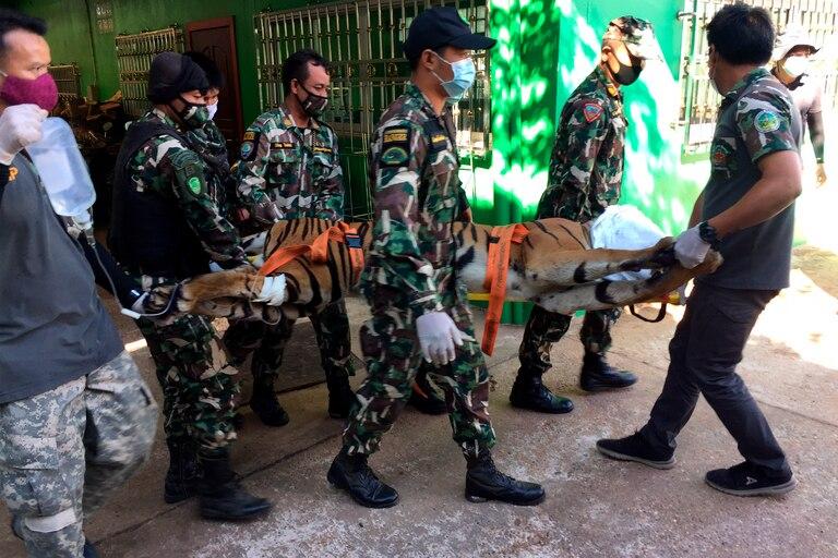 Horror: encuentran cuerpos y pieles de tigres en un zoológico de Tailandia