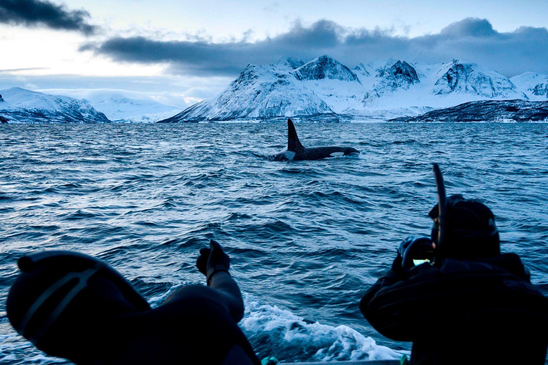 Las orcas nadan en las aguas de la región del fiordo de Reisafjorden, en el Círculo polar ártico, el 13 de enero