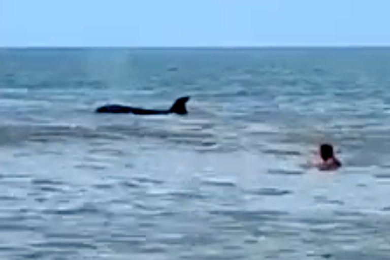 Monte Hermoso: apareció una orca a pocos metros de la playa