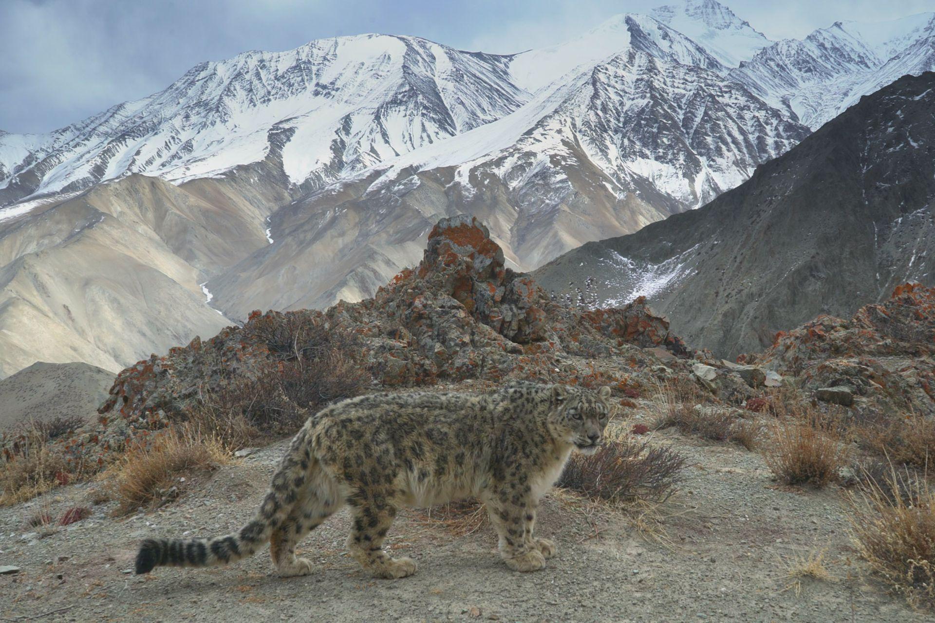 Un leopardo de las nieves en el Himalaya.
