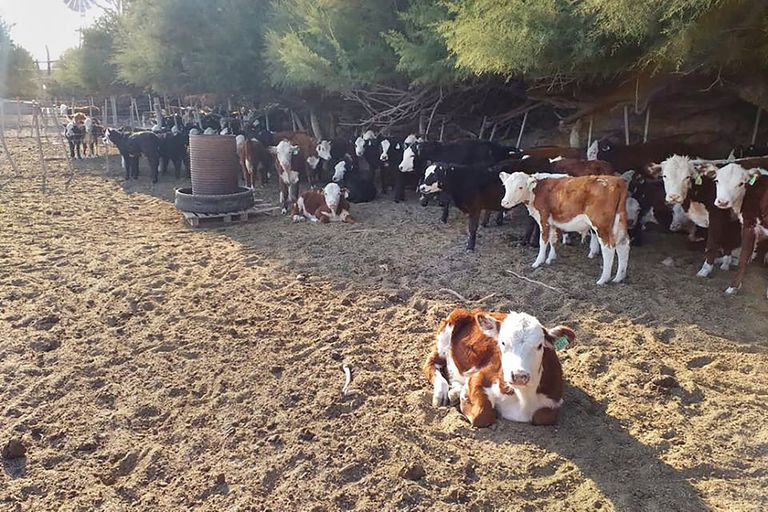 En el establecimiento Doña Rosa el ganado es de raza Hereford