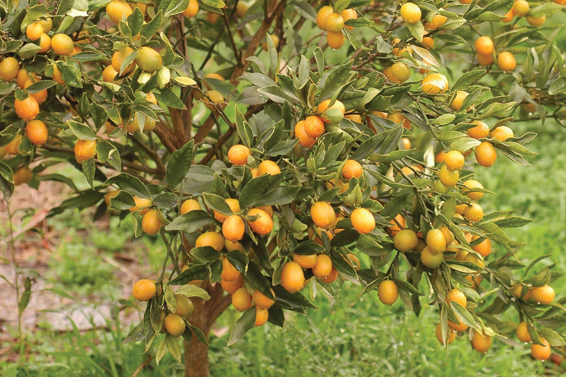 El kumquat (Citrus japonica) es frutal de crecimiento mesurado y porte prolijo, fácilmente ubicable en cualquier espacio abierto.