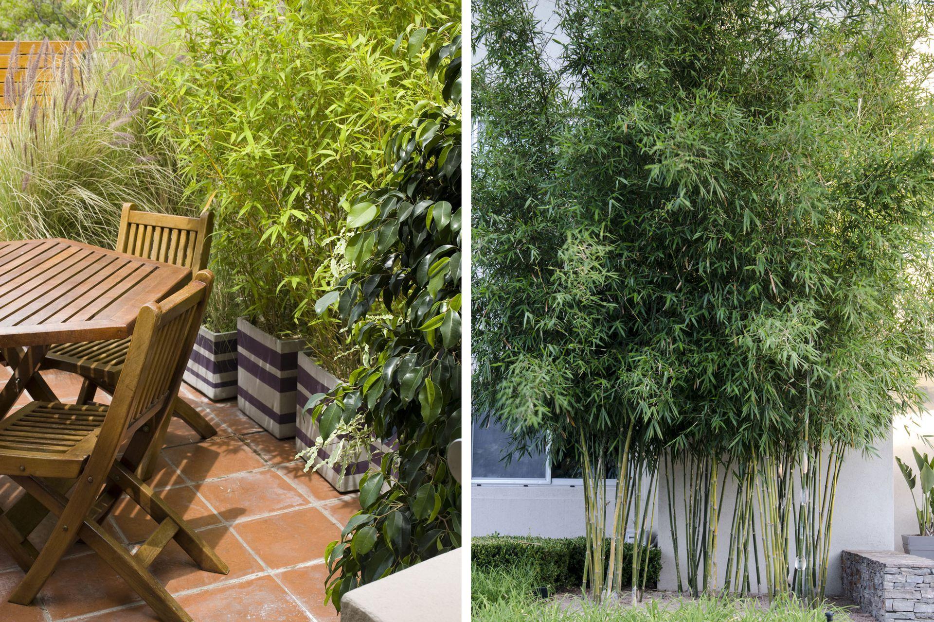 Las cañas (Bambusa sp.) se lucen tanto en lugares pequeños (izquierda) o en espacios amplios y abiertos (derecha).