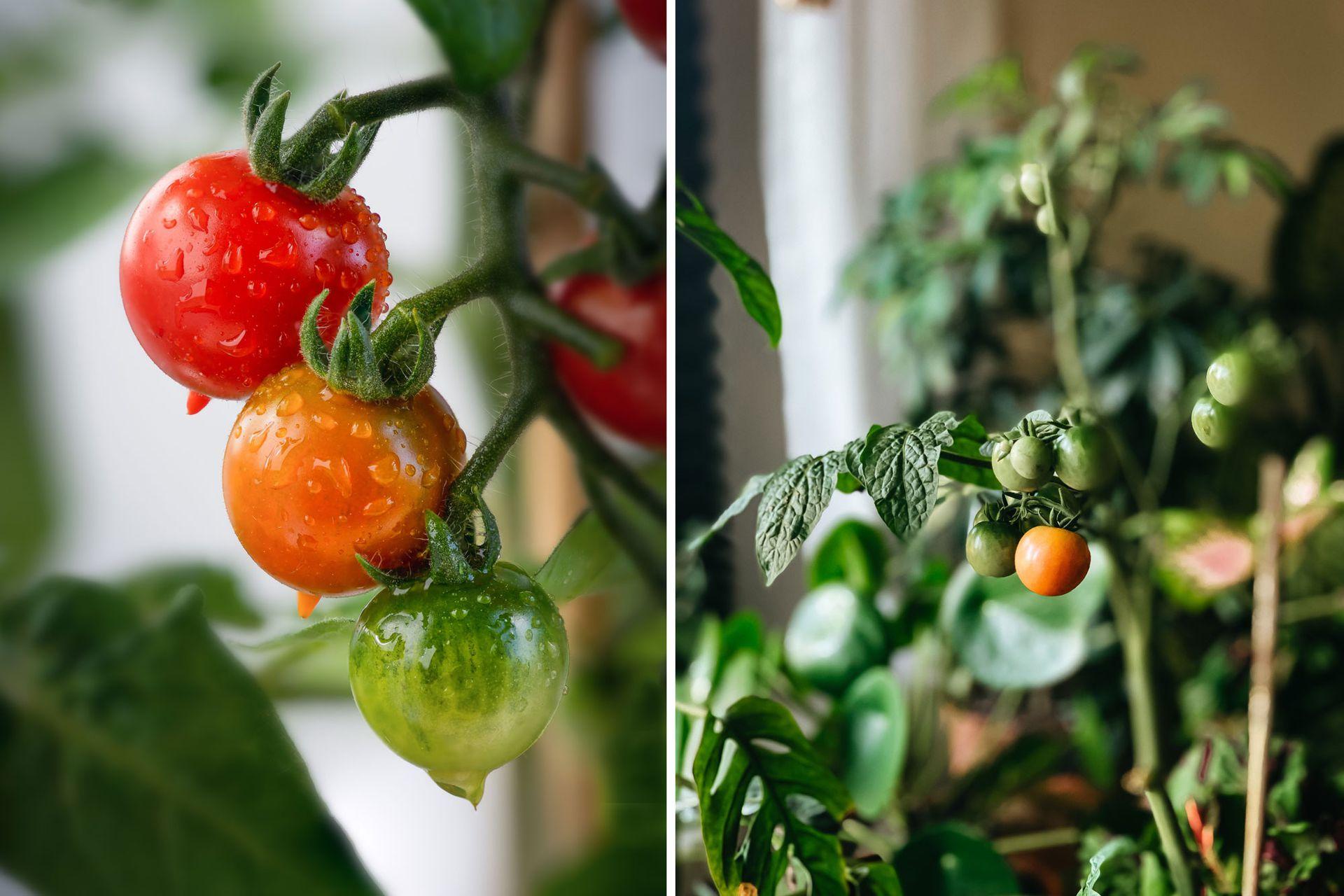Los tomates cherry son ideales para cultivar en macetas porque su desarrollo es más compacto que otras variedades de tomate.