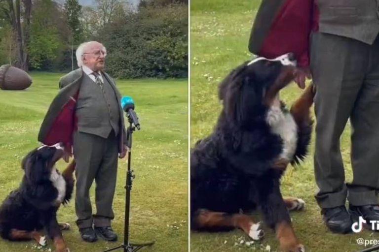 El presidente de Irlanda, Michael Higgins daba un discurso cuando fue interrumpido por su perro Misneach, un simpático boyero de Berna que se robó todas las miradas
